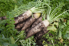 Organic farm white radish with soil. Organic farm fresh white radish with soil Stock Photo