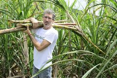 Organic farmer carrying sugar cane Stock Image