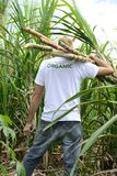 Organic farmer carrying sugar cane Royalty Free Stock Images