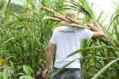 Organic farmer carrying sugar cane Stock Photo