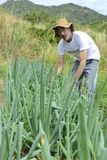 Organic farmer harvesting green onion Royalty Free Stock Photo