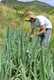 Organic farmer harvesting green onion Royalty Free Stock Photos