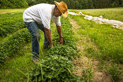 Organic Farmer royalty free stock photography