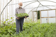 Organic Farmer Holding Tray Of Seedlings Royalty Free Stock Photography