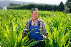 Organic Farmer looking at sweetcorn Stock Image