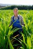 Organic Farmer looking at sweetcorn Stock Photos