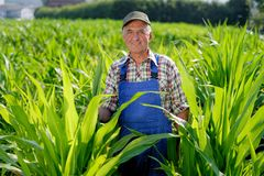 Organic Farmer looking at sweetcorn Stock Photos