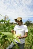 Organic farmer showing corn inside the plantation Stock Images