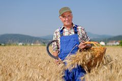 Organic farmer standing in a wheat field Royalty Free Stock Images