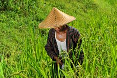 Organic farmer working and harvesting rice Stock Images
