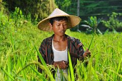 Organic farmer working and harvesting rice Stock Image