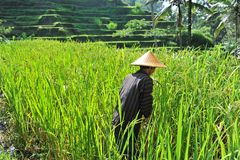 Organic farmer working and harvesting rice Royalty Free Stock Photo
