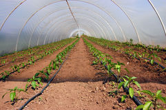 Organic farming. Tomatoes in green house. Organic growing. Water dripping system Royalty Free Stock Photo