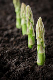 Organic farming asparagus stock images