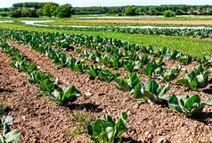 Organic farming in Germany - cultivation of cabbage. Organic farming in Germany - large-scale cultivation of cabbage Royalty Free Stock Photos