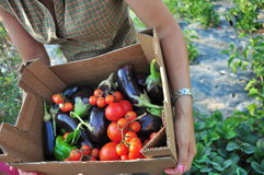 Organic farming. Harvesting of vegetables. Basket with tomatoes and eggplant Stock Images