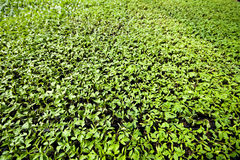 Organic farming, seedlings growing in greenhouse. Stock Image