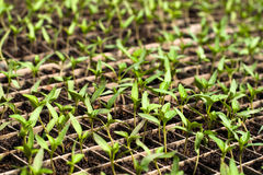 Organic farming, seedlings growing in greenhouse. Royalty Free Stock Photo