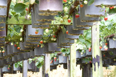 Organic Farming of Strawberries Royalty Free Stock Images