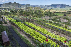 Organic farming in Vinales valley , Cuba royalty free stock photos