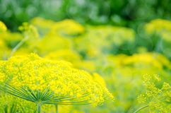 Organic fennel Stock Photography