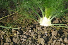 Organic Fennel Still In Soil Stock Photos