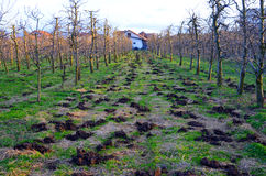 Organic fertilization of an apple orchard Stock Photo