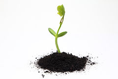 Organic fertilizer farming. Plant growing on organic fertilizer Royalty Free Stock Photos