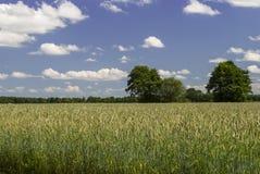 Organic Field 2. Bright sky (few clouds) - organic field (wheat) - trees on horizon Royalty Free Stock Photo