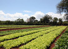 Organic Fields. Of vegetables in a farm Stock Photo