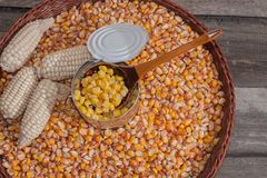 Organic food. Food of syroyed. Abundance of corn. Corn for popcorn. Tinned corn. Corn head of cabbage. A product from a kitchen garden Royalty Free Stock Image