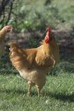 Organic Free Range Chicken Royalty Free Stock Image