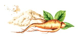 Organic fresh ginseng root and powder. Watercolor hand drawn illustration isolated on white background. Organic fresh ginseng root and powder. Watercolor hand royalty free illustration