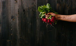 Organic fresh harvested vegetables. Farmer`s hand holding fresh radish. Black wooden background with copy space Royalty Free Stock Images