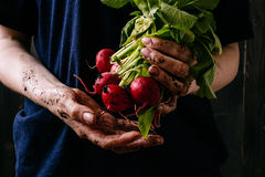 Organic fresh harvested vegetables. Farmer`s hands holding fresh radish, closeup.  Royalty Free Stock Photo