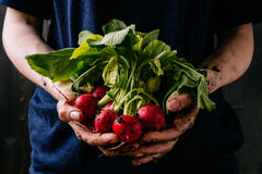 Organic fresh harvested vegetables. Farmer`s hands holding fresh radish, closeup.  Stock Photography