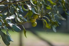 Organic fresh Macadamia nut on tree and plant in a farm in Sabie Mpumalanga South Africa stock photos