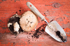 Organic fresh portobello mushrooms and trowel Stock Images