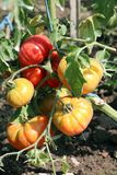Organic fresh tomato in the field Stock Photography