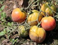 Organic fresh tomatoes Royalty Free Stock Photography