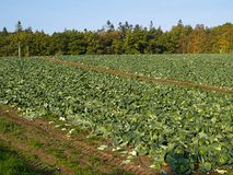 Organic freshly grown cabbage field Royalty Free Stock Photos