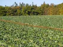Organic freshly grown cabbage field Royalty Free Stock Photography