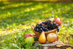 Organic fruit in basket in autumn grass. Fresh grapes, pears and apples in nature Stock Photography