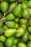 Organic Fuerte Avocados. At a farmer's market Royalty Free Stock Image