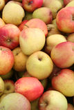 Organic Fuji Apples. Closeup of bushel of organic Fuji apples stock photography