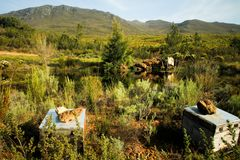 Organic fynbos honeybee hives Royalty Free Stock Photos