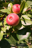 Organic Gala Apples. On the Tree stock photos