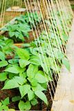 Organic Garden/Beans. Bean plants in a small home garden, not quite ready to climb the trellis yet Stock Images