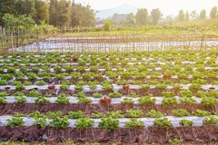 Organic garden: beautiful strawberry garden and green leaf of st Royalty Free Stock Photography