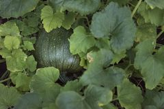 Organic garden grown green pumpkin Stock Image